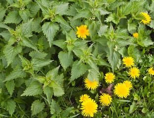 nettle and dandelion