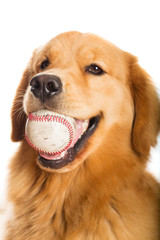 Golden Retriever dog with a baseball