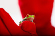 Red Person holding a red eyed tree frog