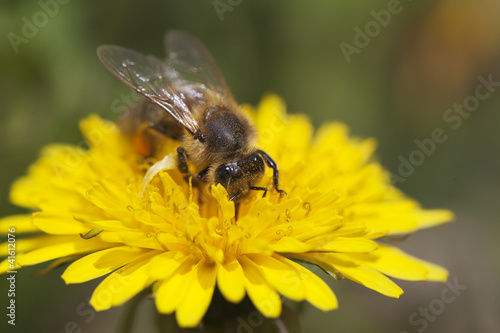 Bee and dandelion.