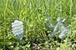 lamp grass