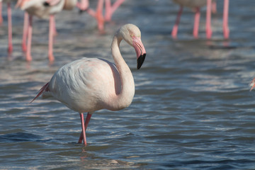 Pink Flamingos in Camargue in France