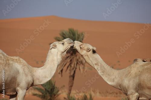 Foto op Aluminium Kameel Kamele in der Sahara
