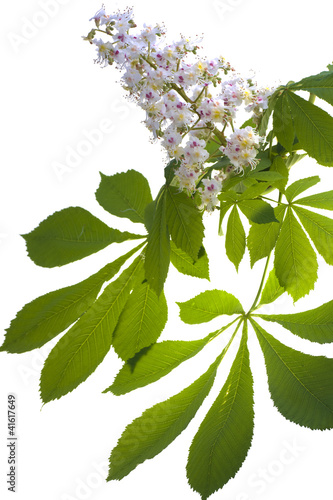 chestnut flower with leaves on white background