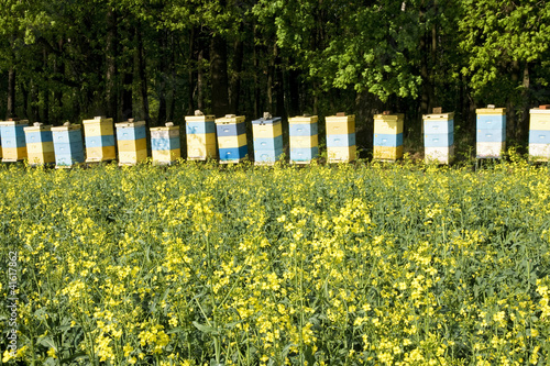 Bee hives among a blooming rape field
