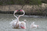flamingos fightinig in Camargue, France