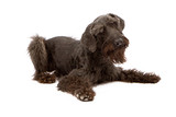 Black Giant Schnauzer Dog Laying Down