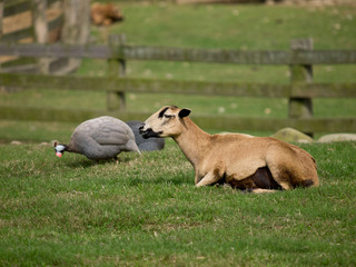 Sheep with fowl