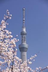 隅田公園の桜と東京スカイツリー