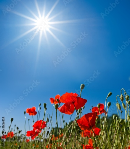 red poppies under a sun