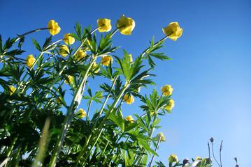 fiori botton d'oro