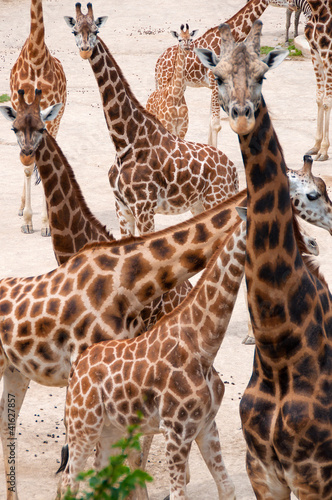 Lots of giraffes