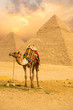 Tied Camel Standing Front Pyramids V