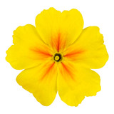 Yellow Primrose Flower Macro Isolated on White
