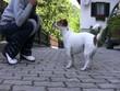 Jack Russel Terrier gibt Pfötchen