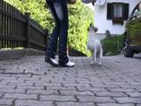 Jack Russel Terrier macht Kunststückchen