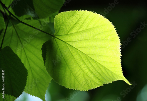 green leaf glowing in sunlight