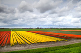 fields with orange, red and yellow tulips