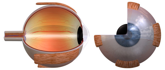 Human eye diagram, two views