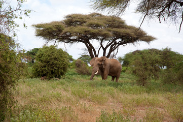 Large African elephant in a national park, South Africa
