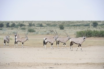 gemsbok (Oryx gazella) in the Kalahari desert