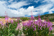 Colorado Wildflowers Blooming in Summer