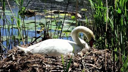 cigno nido stagno lago cignus anatide