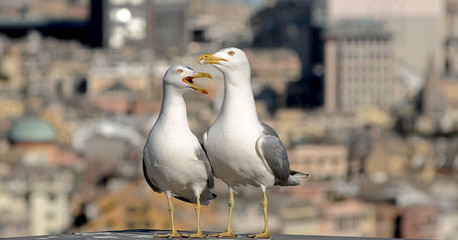 urban gulls