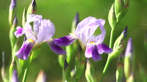 Two beautiful purple irises