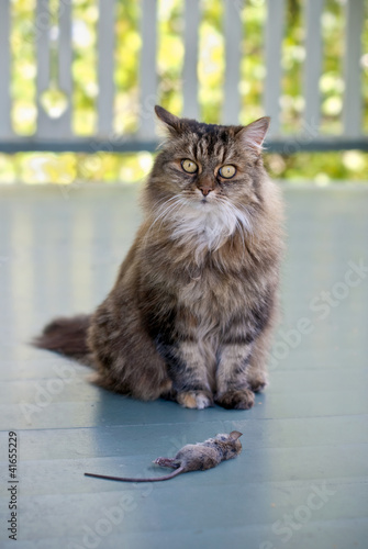 Cat with dead mouse on patio