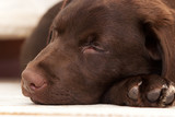 sleeping labrador