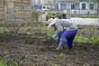 Женщина сажает клубнику на даче.