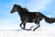 Black horse runs gallop on the sky background