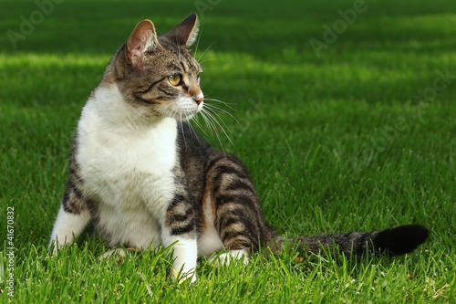 Cat Playing Outdoors on the Grass