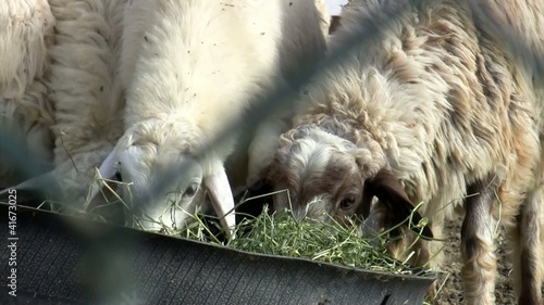Sheep competing for food