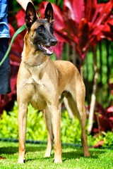 Perfect Belgian Malinois