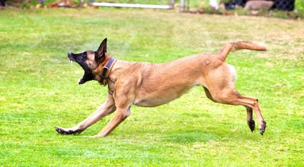 Barking Malinois