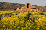 Mustard Blooming on the Farm