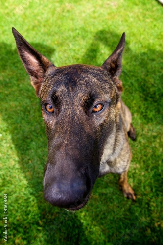 Ditzy Dutch Shepherd