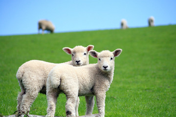 Lambs in field above Malmsmead in Exmoor