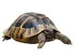 turtle isolated on white background,  testudo hermanni