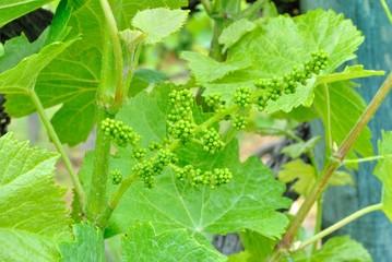 Grappolo d'uva in maturazione
