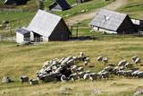 Fototapeta Flock of sheep in the mountain resort