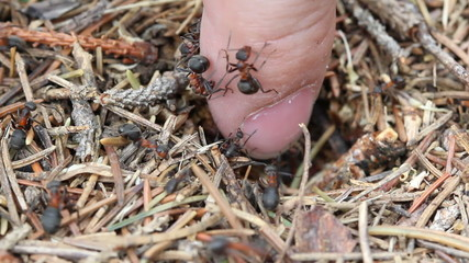 ants on human finger