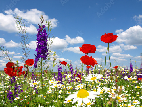 czerwony-mak-i-dzikie-kwiaty
