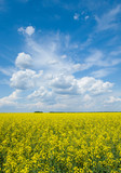 Flowering canola or rapeseed field