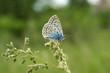 farfalla licenide blu (macro)