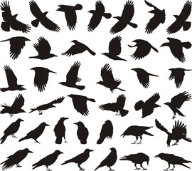 Bird carrion crow