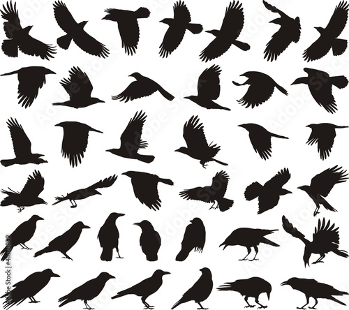 Bird carrion crow - 41688839