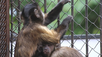 Female brown capuchin with baby in captivity